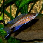 1 männlicher  Paracyprichromis n. blue neon 14072014