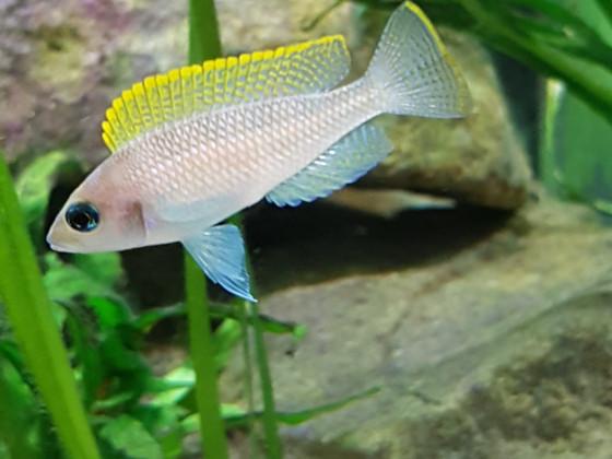 Neolamprologus Caudopunctatus kapampa Männchen