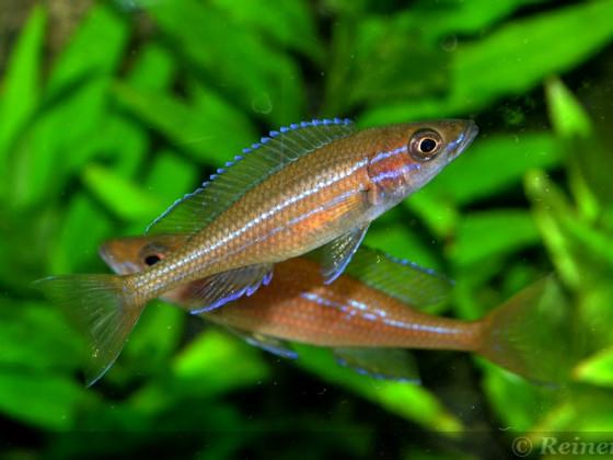 8 weiblicher Paracyprichromis n. blue neon 08062014