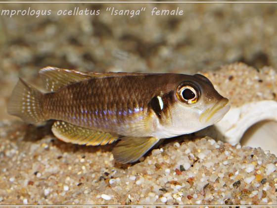 "Lamprologus ocellatus ""Isanga"" WF"
