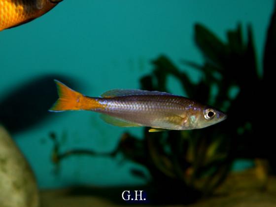 Cyprichromis leptosoma Utinta