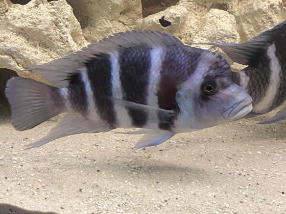Frontosa Blue Zaire Kitumba Weibchen