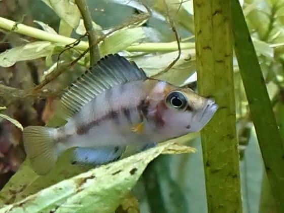 "Altolamprologus ""Sumbu shell"""