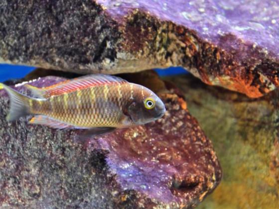 Tropheus moorii Kabiolwe ca. 1 Jahr alt