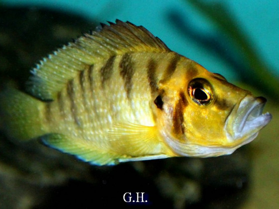 "Altolamprologus compressiceps ""gold head"""