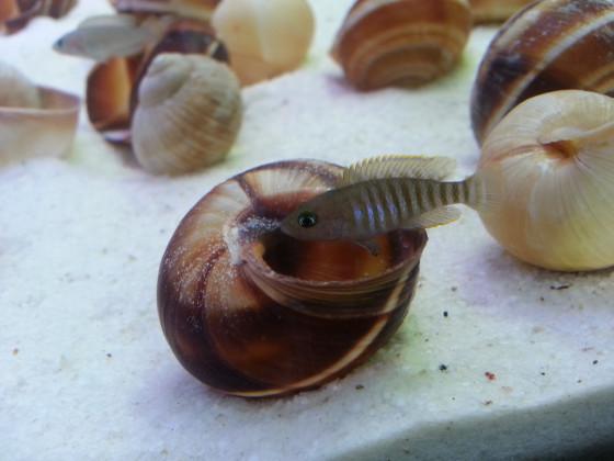 Neolamprologus multifasciatus weibchen