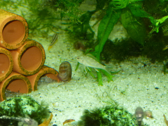 Callochromis macrops Jungfisch mit jungen M. auratus