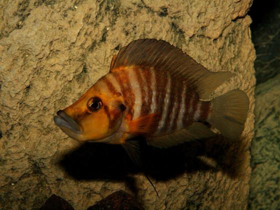 Altolamprologus compressiceps golden head