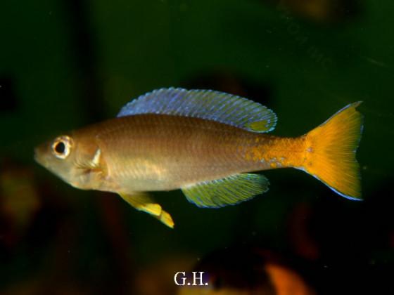 Cyprichromis leptosoma Utinta red tail