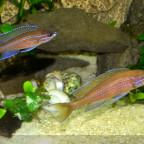 beide Böcke Paracyprichromis 06062014