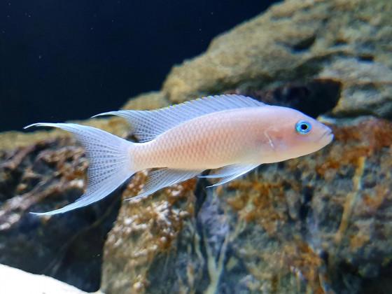 Neolamprologus Gracilis Kapampa f1 Weibchen