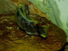 Tropheus golden kalambo