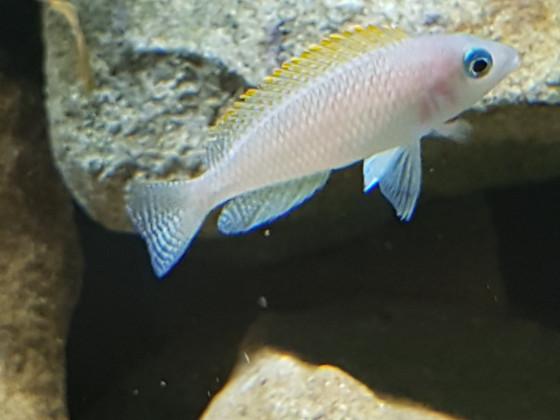 Neolamprologus Caudopunctatus kapampa,  weiblich