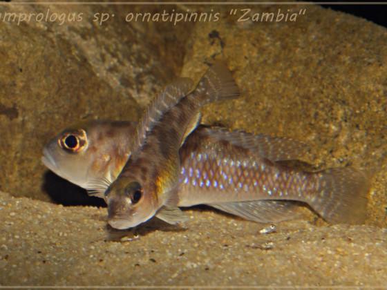 "Lamprologus sp. ornatipinnis ""Zambia"" WF"