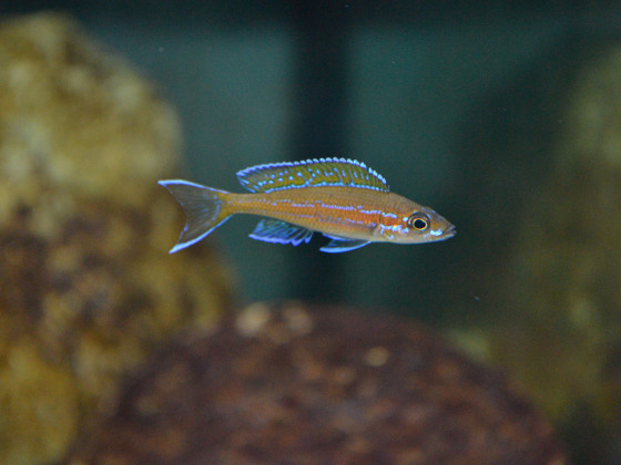 P. nigripinnis - junges Männchen
