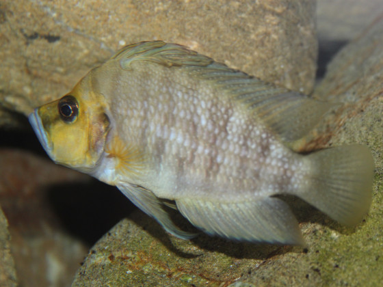 Altolamprologus compressiceps golden head WF