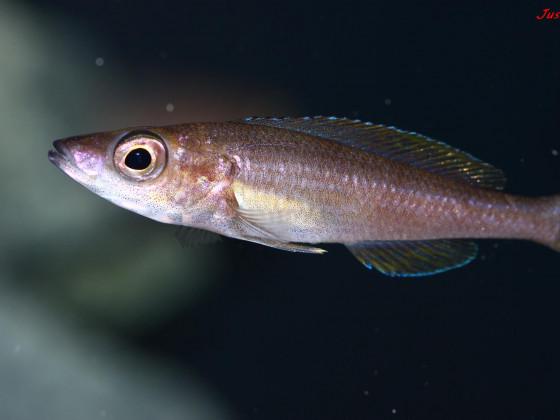 cyprichromis leptosoma utinta fluorescent weibchen