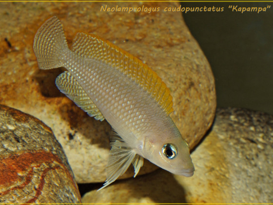 "Neolamprologus caudopunctatus ""Kapampa"" WF"