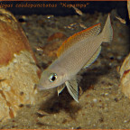 "Neolamprologus caudopunctatus ""Kapampa"""