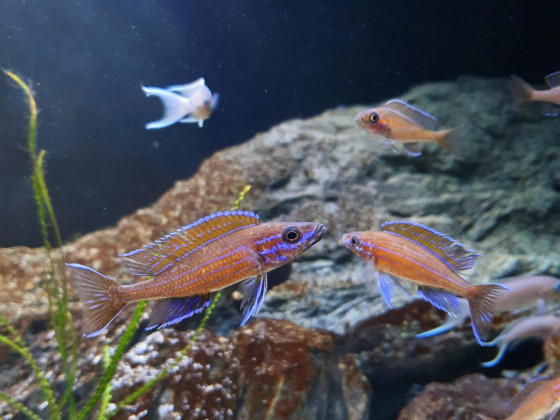 Paracyprichromis Nigripinnis Männchen beim Drohen