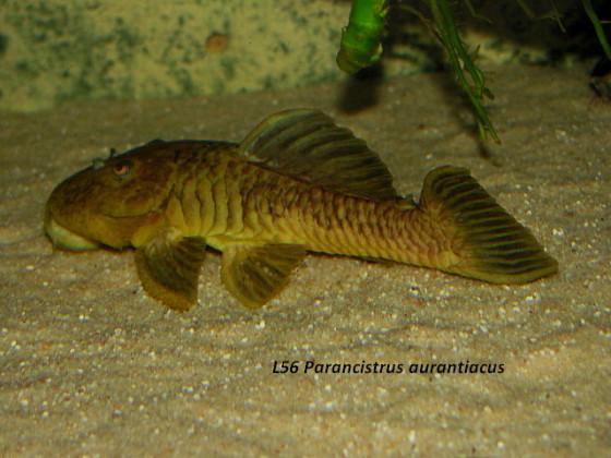 L 56 Parancistrus aurantiacus, Goldstachel-Breitkopfharnischwels