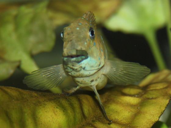 WF Eretmodus cyanostictus kipilli