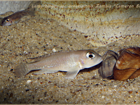 "Lamprologus sp. ornatipinnis Zambia ""Cameron Bay"""