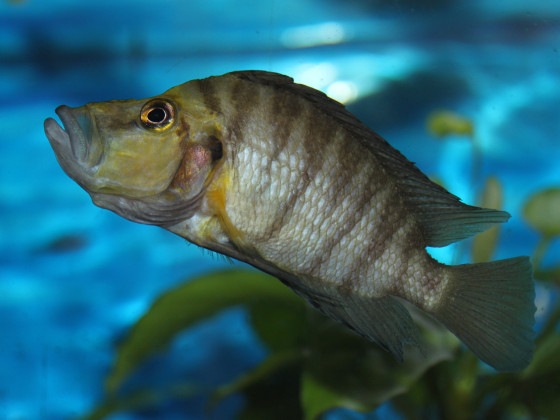 Altolamprologus compressiceps golden head WF