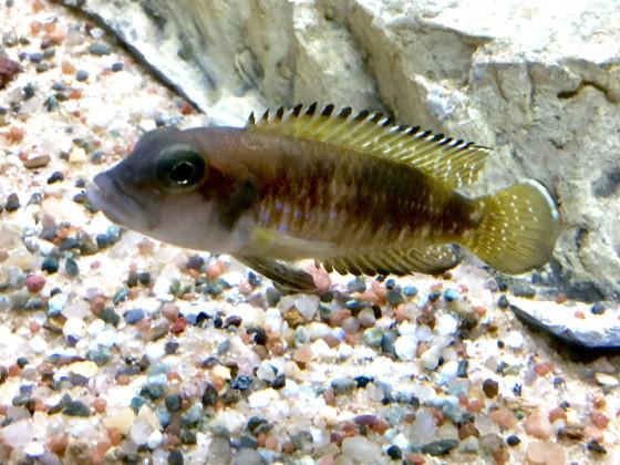 Lamprologus speciosus Bwassa