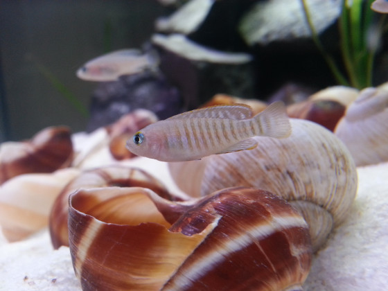 Neolamprologus multifasciatus Männchen