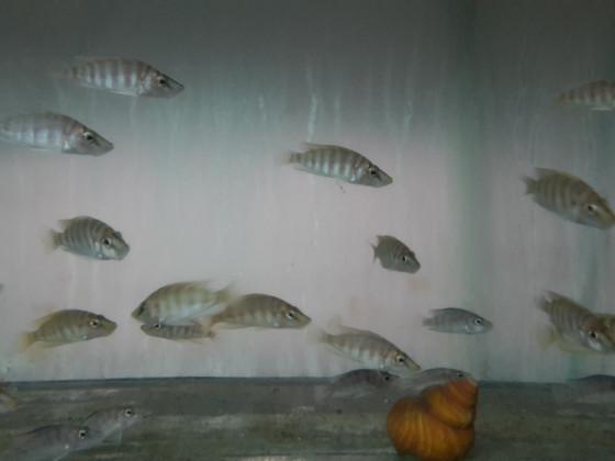 "Altolamprologus compressiceps ""Mandarin"""